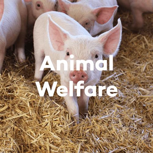 About SunPork - Our Animal Welfare Policies - 100% Australian Pork Supplier